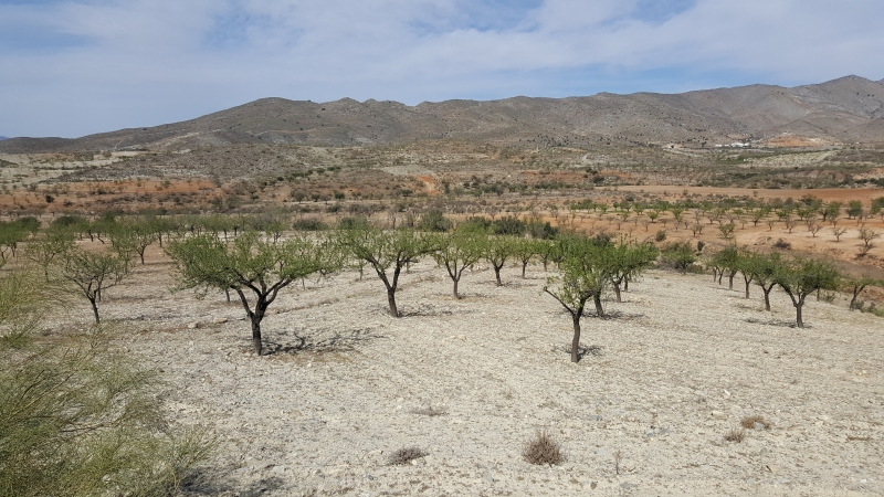 Mandelbäume in Reih und Glied