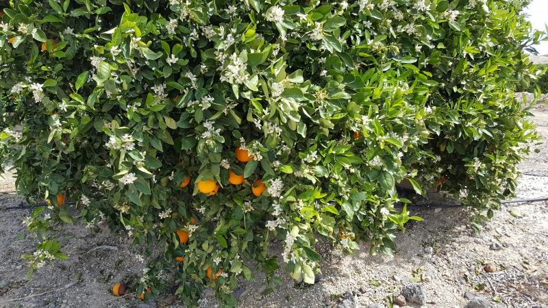 Orangen und Blüten am selben Baum