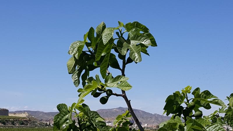 Feigen in Andalusien