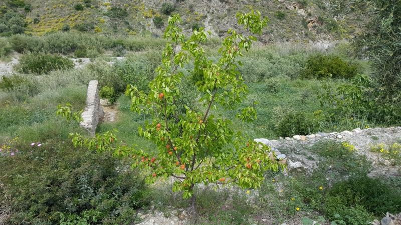 Aprikosenbäumchen