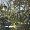 Die neuen Oliven