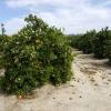 Orangenbaum mit Orangen und Blüten