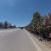 Blühender Oleander am Strassenrand