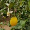 Zitrone und Zitronenblüten
