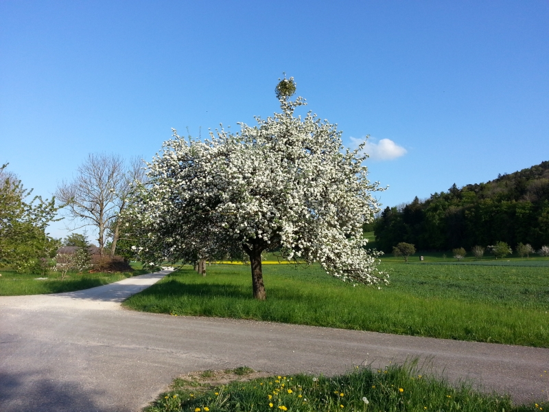 Obstbaum in voller Blüte
