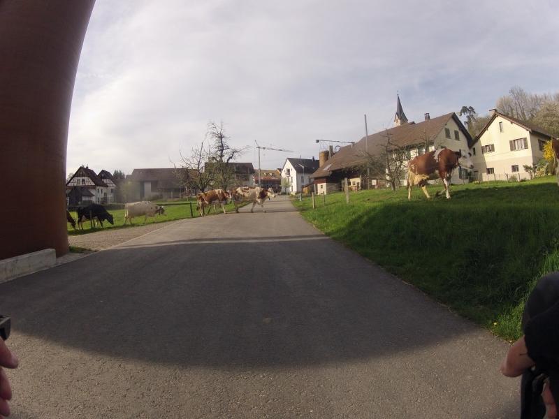 Kühe in Unterendingen