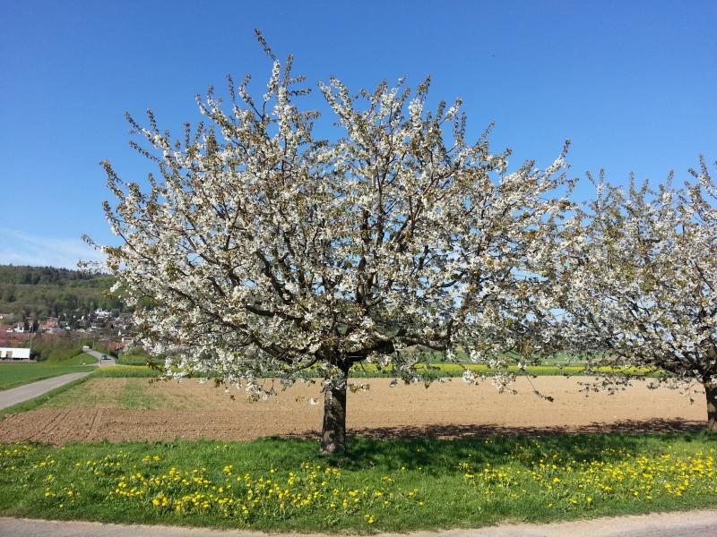 Obstbaum im Surbtal