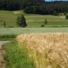 Getreidefelder im Wehntal