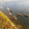 Schwanenfamilie am Rhein