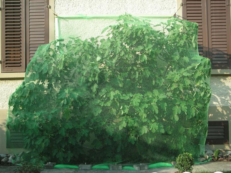 Feigenbaum, eingepackt zum Schutz vor den Spatzen