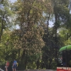 Blühender Kastanienbaum