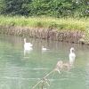 Schwäne im Canal du Rhône au Rhin