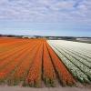 Tulpenfelder auf dem Weg zwischen Haarlem und Leiden