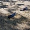 Bettelnde Tauben während meinem Mittagessen