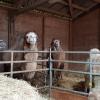 Kamele in Huttwil