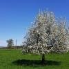 Obstbaum im Reusstal