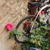 Rosen und Rennrad