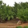 Plantage mit Haselnusssträucher