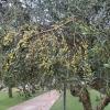 Oliven im Hotelgarten