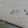 Entenfamilie auf der schäumenden Aare