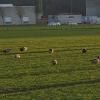 Enten auf dem Gras