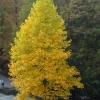 gelber Laubbaum