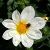 Biene auf Besuch