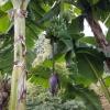 Bananen und Blüte