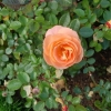 Rose auf der Insel Mainau