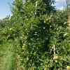 Apfelplantage im Thurgau