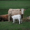 Oftmals sind hier die Kälber noch bei den Kühen