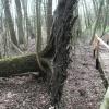 Man beachte den schmalen Wurzelteller und dass daraus schon der nächste Baum entsteht.