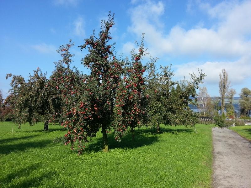 Apfelbaum voll Äpfel