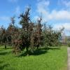 Apfelbaum voll Äpfeln