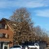 Christbaum in Erlenbach