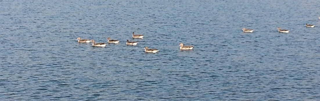 Enten zu Besuch