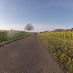 Sonnenblumen zwischen Endingen und Würenlingen
