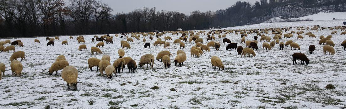 Schafherde auf dem Villigerfeld
