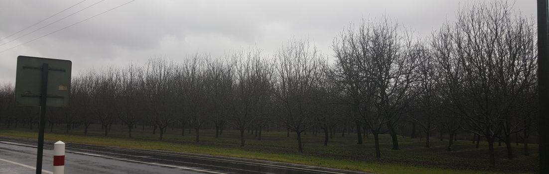 Nussbäume