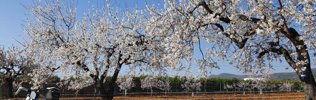 weisse Mandelblüten