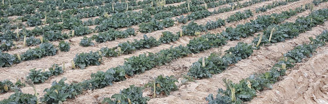 Spargeln und Broccoli