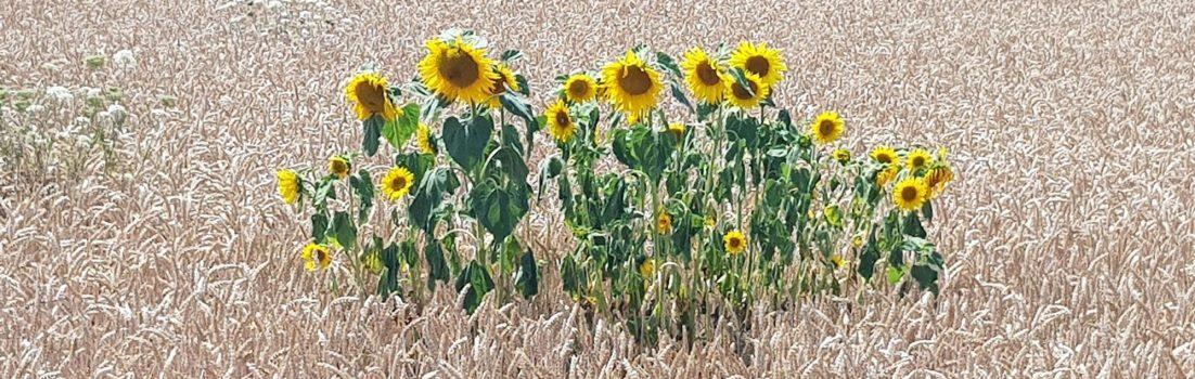 Getreide und Sonnenblumen