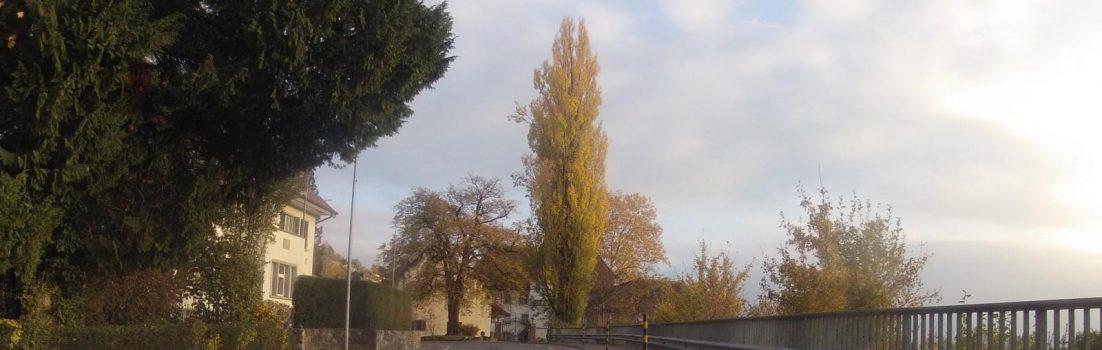 Pappel beim Schloss Brestenberg