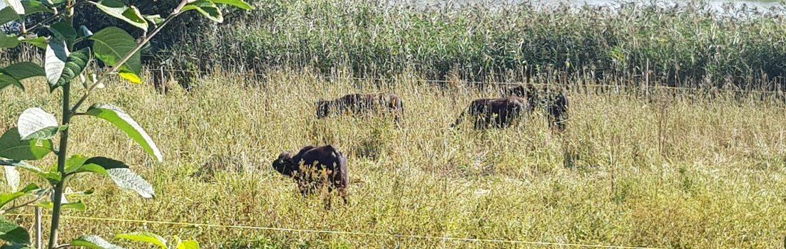 Büffel? im Sumpfgebiet der Reuss