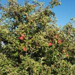 Apfelbäume bei Rüfenach