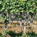 Weintrauben am Strassenrand