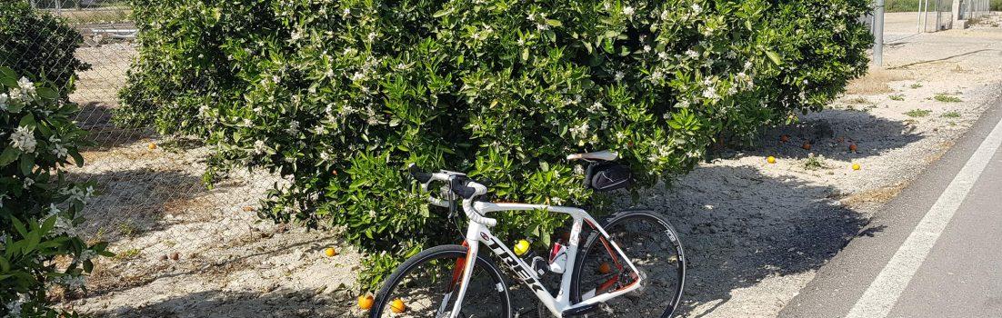 Blühender Orangenbaum