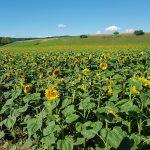 Sonnenblumen zwischen Würenlingen und Döttingen