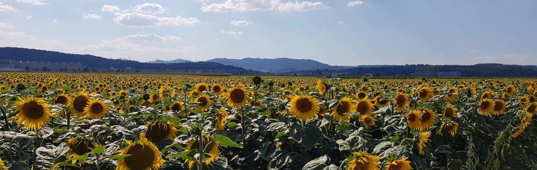 Sonnenblumenfeld im Birrfeld