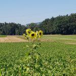 Sonnenblume im falschen Feld